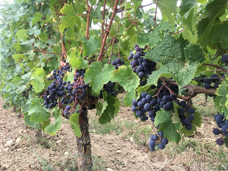 Vignes Cabernet franc Nerleux