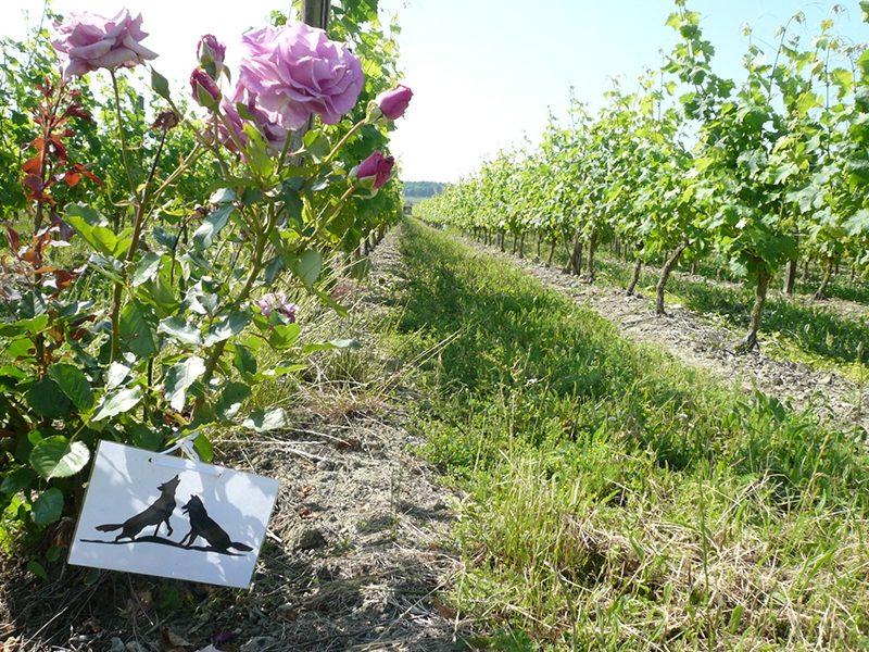 Les Nerleux vigne en Saumur Champigny